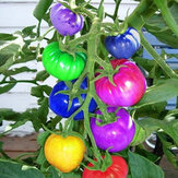 Egrow 100 Stks Rainbow Tomato Seeds Colorful Bonsai Biologische groenten en fruit Seed Home Garden