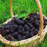 Egrow 200 stks Blackberry Fruit Seeds Home Garden Plantting Perennial Potted Sweet Fruit Seed
