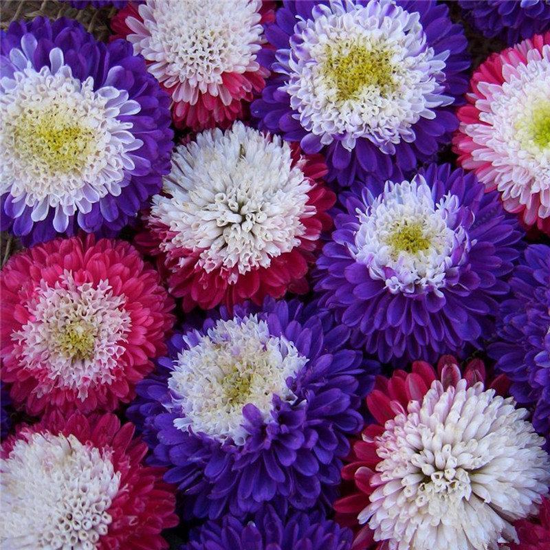 100Pcs Aster Seeds Aster Bonsai Flower Seeds Rainbow Chrysanthemum Seeds Annual Home Garden
