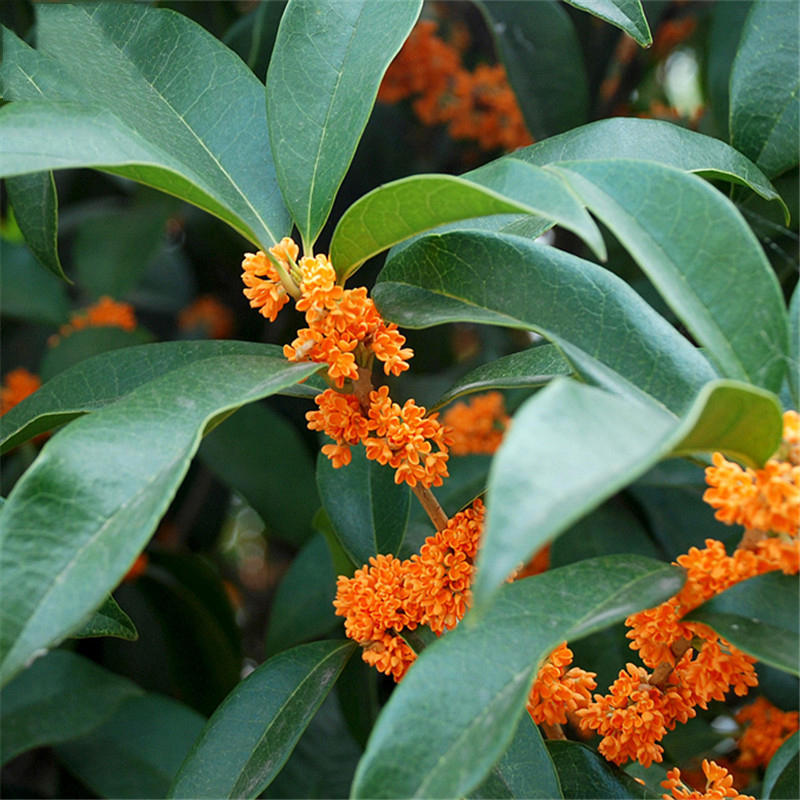 Egrow 30 Pcs/Pack Sweet Scented Osmanthus Tree Seeds Sweet Scented Osmanthus Tree